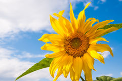 Beautiful yellow sunflower against the sky Stock Photography