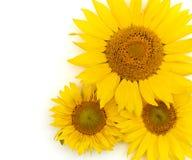Beautiful yellow Sunflower background. On white Stock Photography