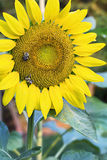 Beautiful Yellow Sunflower with Bee Royalty Free Stock Images