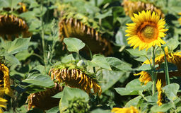 Beautiful yellow sunflower in big withered field Royalty Free Stock Photos