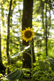 Beautiful yellow sunflower blooming Stock Images
