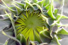 Beautiful yellow Sunflower Royalty Free Stock Images