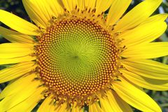 Beautiful yellow Sunflower Stock Photos