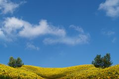 A beautiful yellow sunflower field Royalty Free Stock Image