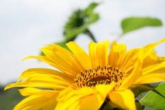 Beautiful yellow sunflower. Stock Photography