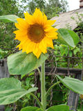 Beautiful yellow sunflower with green leaves in the summer . Stock Photo