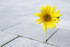 Beautiful yellow sunflower is growing through a stone ground Stock Image