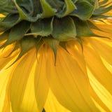 Beautiful yellow sunflower macro close up square. Yellow sunflower close up with green square photo art and background Stock Images