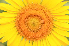 The beautiful yellow sunflower petals close up Royalty Free Stock Images