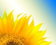 Beautiful yellow Sunflower petals closeup Royalty Free Stock Photo