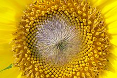 Beautiful yellow Sunflower. Petals closeup Stock Image