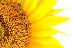 Beautiful yellow Sunflower petals closeup Stock Images