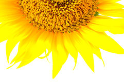 Beautiful yellow Sunflower petals closeup Royalty Free Stock Photo