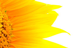 Beautiful yellow Sunflower petals closeup Stock Photography