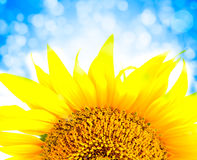 Beautiful yellow Sunflower petals closeup Stock Photo