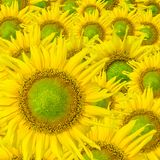 Beautiful yellow Sunflower petals closeup Stock Image