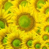 Beautiful yellow Sunflower petals closeup Royalty Free Stock Image