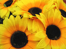 Beautiful yellow Sunflower petals with dew closeup. Background Stock Images