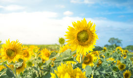 Beautiful yellow sunflower in sunflowers field with flare light royalty free stock photo
