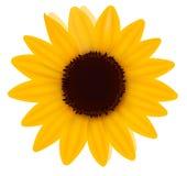 Beautiful yellow Sunflower. Vector. Illustration Stock Photos