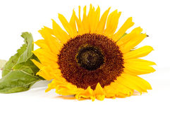 Beautiful yellow sunflower with waterdrops. Isolated on white royalty free stock photography