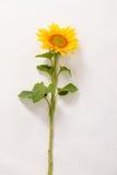Beautiful yellow sunflower. Stock Photo