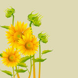Beautiful yellow Sunflowers. On sepia background Royalty Free Stock Photography