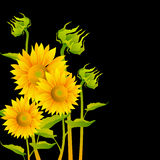 Beautiful yellow Sunflowers Stock Photos