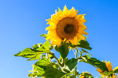 Beautiful yellow sunflowers against blue sky Royalty Free Stock Photos