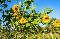 Beautiful yellow sunflowers in the field Stock Images