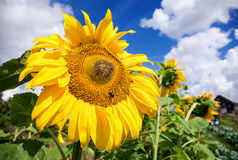 Beautiful yellow sunflowers in the field Stock Photos