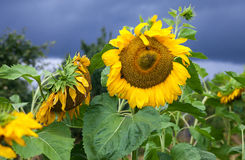 Beautiful yellow sunflowers in the field Royalty Free Stock Images