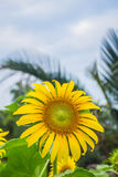 Beautiful yellow sunflowers Stock Photo