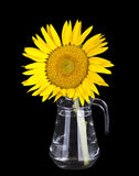Beautiful yellow sunflowers in glass vase Royalty Free Stock Image