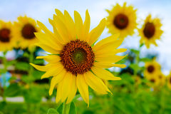Beautiful yellow sunflowers Royalty Free Stock Photo