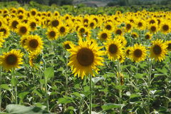 Beautiful yellow sunflowers Royalty Free Stock Images