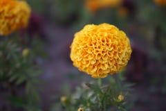 Tagetes patula closeup. Beautiful yellow Tagetes patula flowers close up stock photography