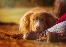 Beautiful yellow toller lies with the child in the autumn park. stock photography