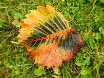 Brown autumn tree leaf, Lithuania. Beautiful yellow tree leaf on green grass in autumn stock images