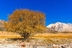 Beautiful yellow tree on the shore of Lake Baikal Royalty Free Stock Photo