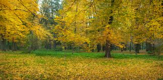 Beautiful yellow trees in an autumn park. Stunning park scenery in warm autumn day. Stock Photos