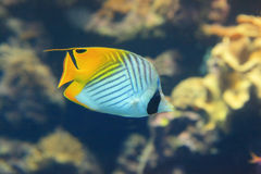 Beautiful yellow tropical fish in the ocean Royalty Free Stock Photo