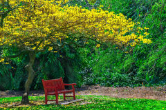Beautiful Yellow Trumpet tree in bloom, displaying all its spring blosoms. Beautiful spring Yellow Trumpet tree in full bloom, surrounded by lush green foliage Stock Images