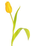Beautiful yellow tulip Stock Images