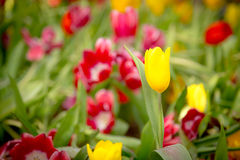Beautiful yellow tulip with blur red tulips Royalty Free Stock Photos