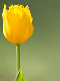 Beautiful yellow tulip flower blooming in spring Stock Photography