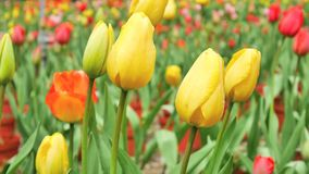 The beautiful yellow tulip flower moving in the wind. At the garden in the morning stock footage