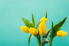 Beautiful yellow tulip flowers on turquoise background for greeting message. Holiday mock up stock photos