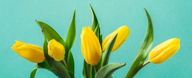 Beautiful yellow tulip flowers on turquoise banner stock image