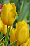 Beautiful yellow tulip Stock Image